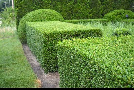 Best way to cut a privet Hedge, classic-angular-cutting-hedge,