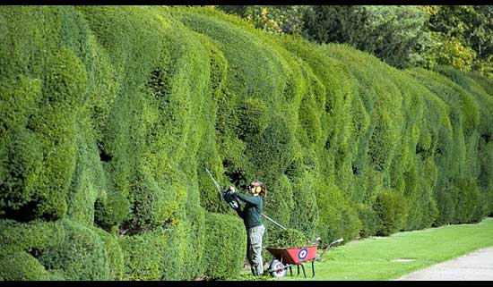 Best way to cut a privet Hedge, solid-wall-cutting-hedge,