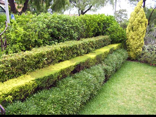 Best way to cut a privet Hedge, stepping-style-Hedge,