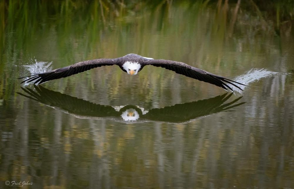 an-eagle-soaring-over-a-lake-in-canada