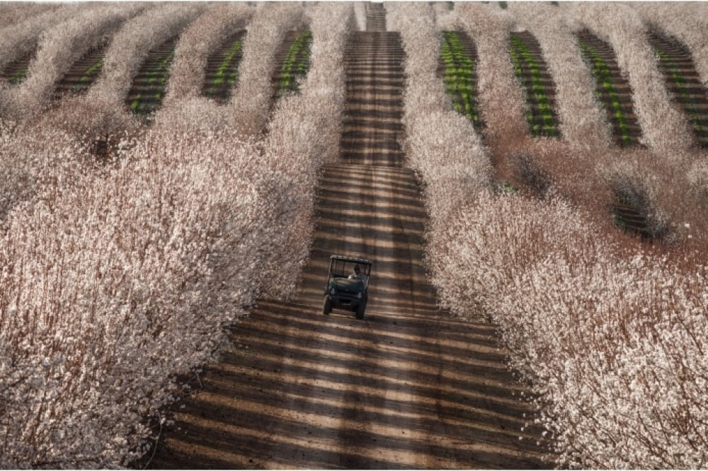 tractor-among-almond-fields-california